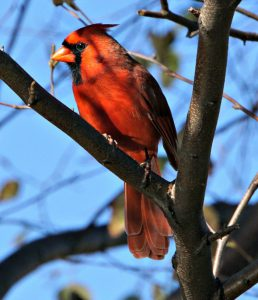 cardinal - red birds - north america