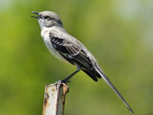 mockingbird singing - northern mockingbird sounds