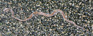 Fer de lance snake - birding belize the jungle