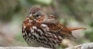 fox sparrow - facts about sparrows