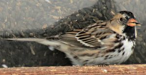 harris sparrow - facts about sparrows
