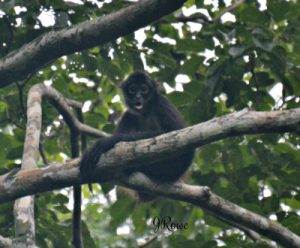 Howler Monkey Belize - Birding Belize The Jungle