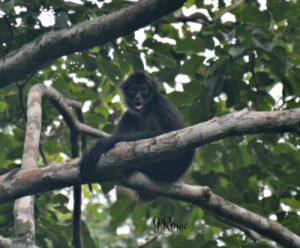 Howler Monkey Belize - Birding Belize The Jungle