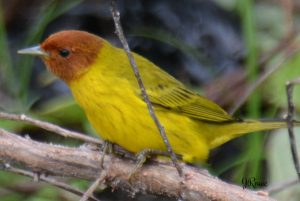 Mangrove yellow warbler - birding belize the jungle