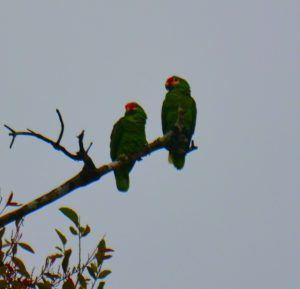 Parrots - birding belize