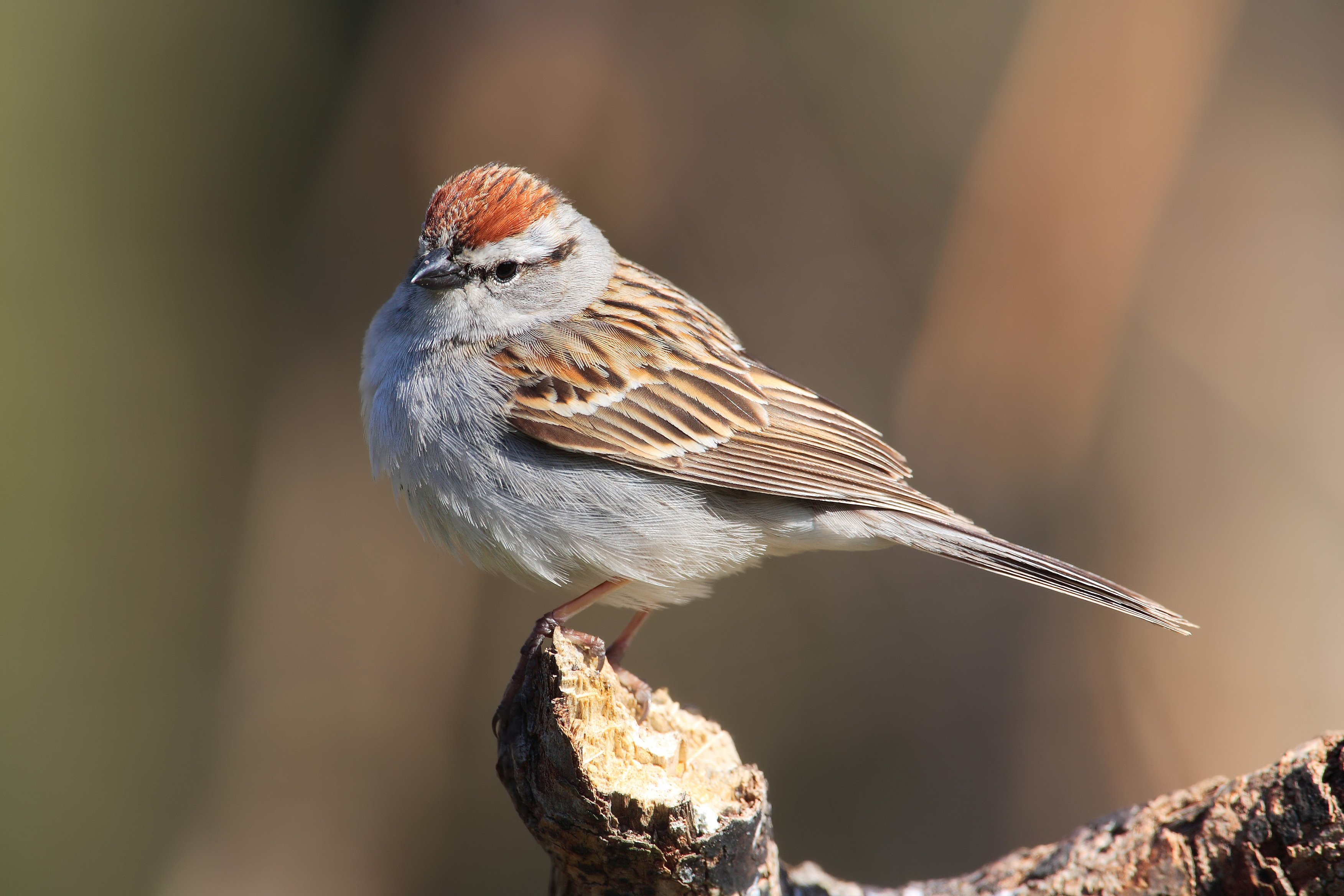 chipping sparrow - facts about sparrows