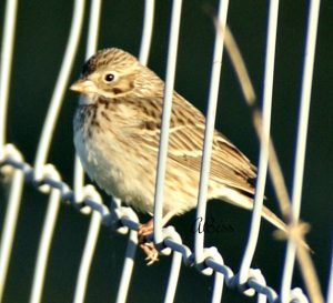 vesper sparrow - facts about sparrows