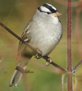 white crowned sparrow - facts about sparrows