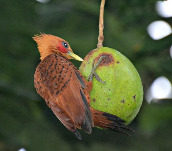 chestnut colored woodpecker - birding belize