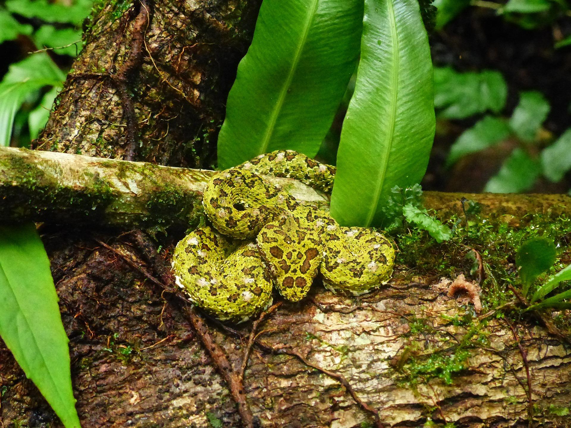 fer de lance snake Belize - birding belize the jungle