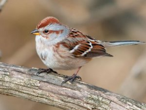 american tree sparrow - facts about sparrows