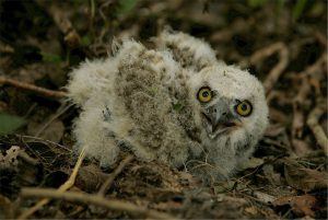 baby great horned owl - great horned owl call