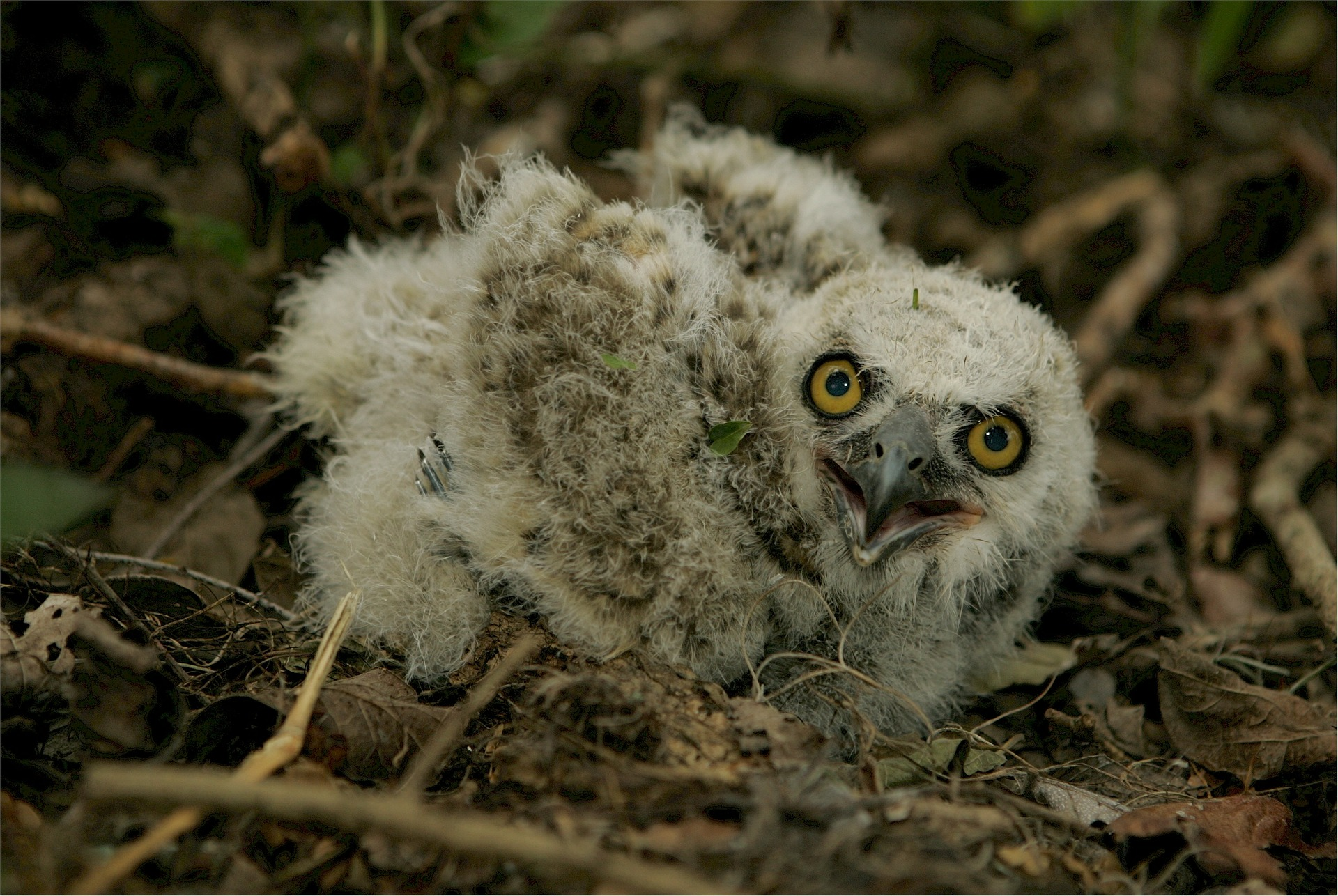 baby great horned owl - sounds of the great horned owl