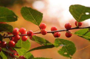 berry tree - northern mockingbird sounds