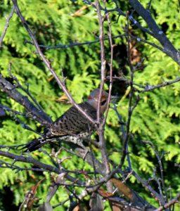 Northern Flicker - backyard birdwatching