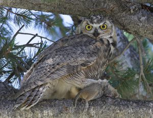 Great Horned Owl - Great horned owl call