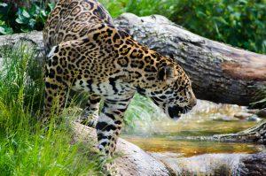 Jaguar - Birding Trip Belize