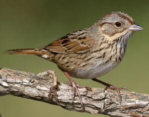 Lincoln's Sparrow - facts about sparrows