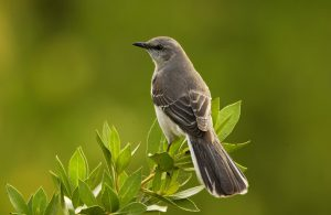 northern mockingbird - northern mockingbird sounds
