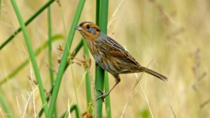 nelson's sparrow - facts about sparrows
