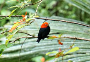 redcapped manakin - birding belize the jungle