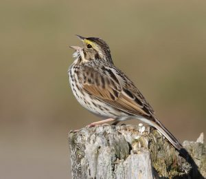 savannah sparrow - facts about sparrows
