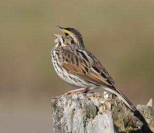 savannah sparrow - facts about sparrows
