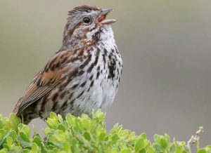 song sparrow - facts about sparrows