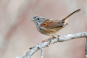 swamp sparrow - facts about sparrows