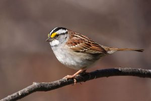 white throated sparrow - facts about sparrows