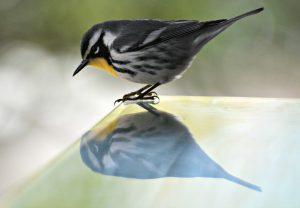 Yellow-throated warbler belize - birding belize the beach
