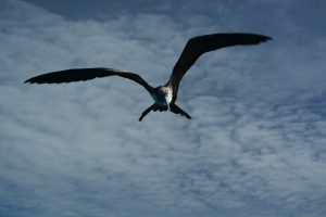 frigate bird belize - birding belize the beach