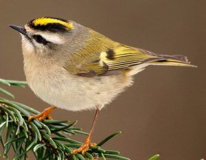 golden crowned kinglet - birds in winter