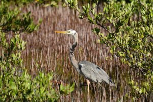 heron belize - birding belize the beach