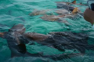 Nurse Sharks belize - birding belize the beach