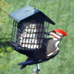 Pileated woodpecker - suet for the birds