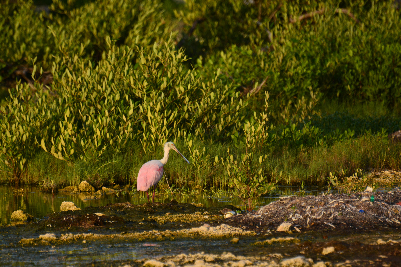 roseate spoonbill belize - birding belize the beach