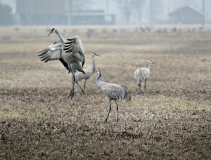 sandhill cranes at ewing bottoms, indiana - sandhill crane migration