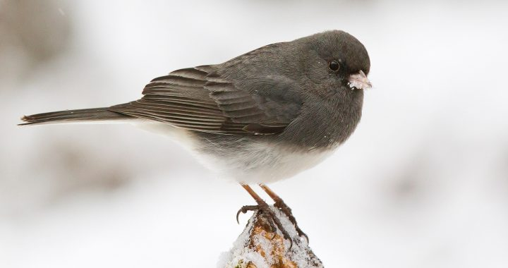 dark-eyed junco - winter birds are starting to arrive