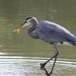 great blue heron - great blue heron or a crane