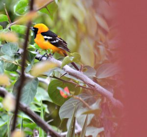 hooded oriole belize - birding belize the beach