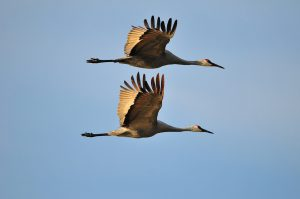 sandhill cranes - great blue heron or a crane