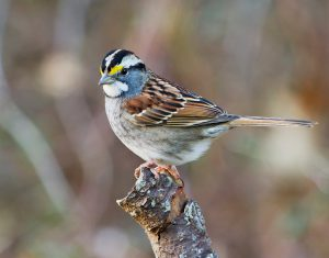 white throated sparrow - winter birds are starting to arrive
