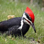 pileated woodpecker - birds in the snow