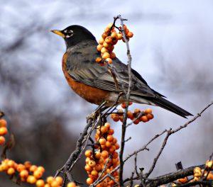 American Robin 120217 - American Robin Facts