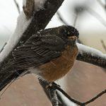American Robin - American Robin Facts