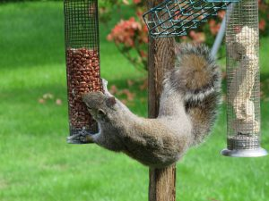 squirrel - squirrel proof feeders
