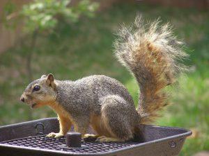 squirrel on feeder - feeding wild squirrels