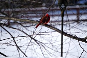 cardinal in yard- bird feeding stations
