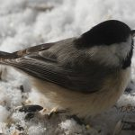 carolina chickadee - bird feeding stations
